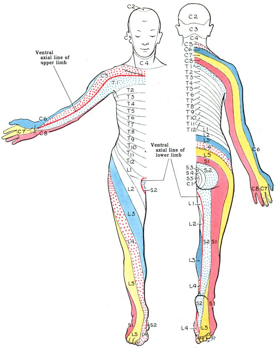 「指 神経支配」の画像検索結果